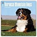 Bernese Mountain Dogs - Berner Sennenhunde 2018 - 18-Monatskalender