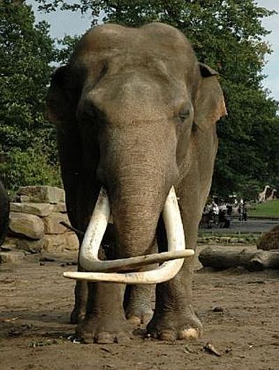 Elefant - 500 Teile (Puzzle)