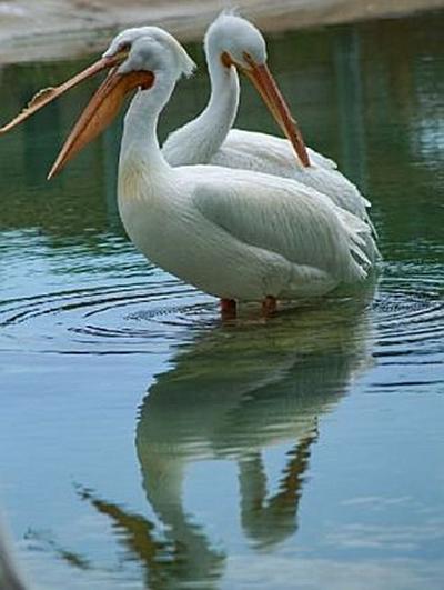 Pelikane - 2.000 Teile (Puzzle)