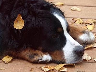 Berner Sennenhund - 100 Teile (Puzzle)