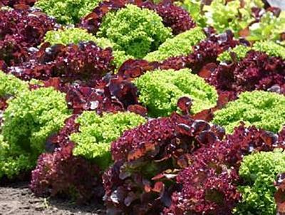 Salat - 200 Teile (Puzzle)