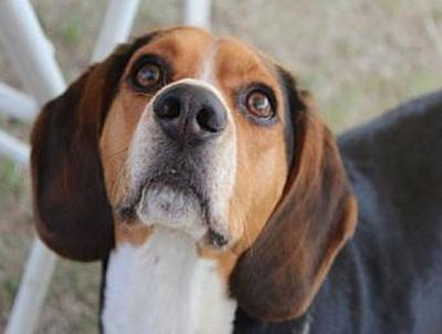 Beagle - 100 Teile (Puzzle)