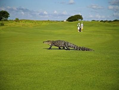 Alligator auf Golfplatz - 200 Teile (Puzzle)