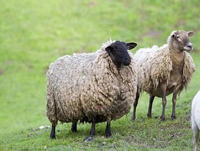 Schafe - 100 Teile (Puzzle)