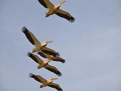 Pelikane - 100 Teile (Puzzle)