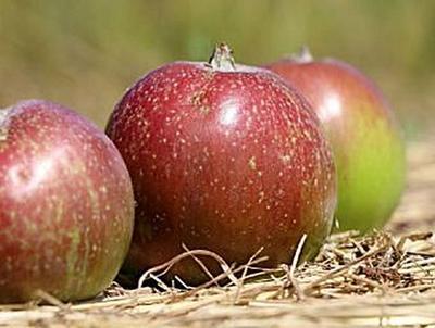 Apfel - 100 Teile (Puzzle)