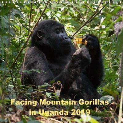 Facing Mountain Gorillas in Uganda (Wall Calendar 2019 300 × 300 mm Square)