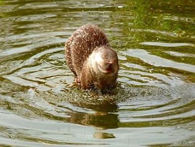 Otter - 1.000 Teile (Puzzle)